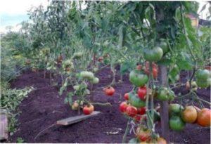 Кущ томату Чудо землі