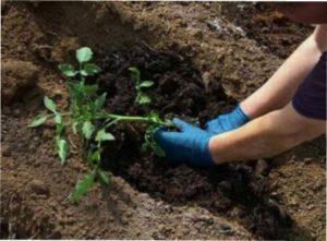 Агротехніка вирощування помідорів сорту Чудо землі