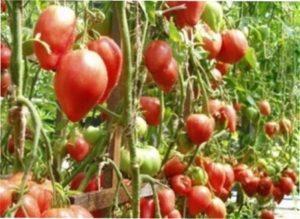Переваги і недоліки томату Чудо землі