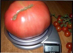 Відгуки овочівників про томат чудо землі