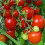 Томат Інтуїція F1: характеристика та опис сорту помідорів для вирощування в Україні
