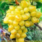 Виноград Аркадія: відгуки про сорт, правила вирощування та характеристика з фото