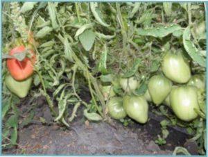 Особливості агротехніки сорту Волове серце