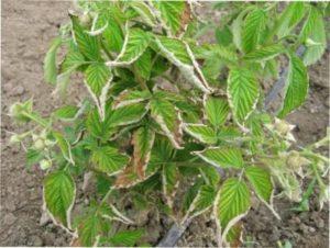 Які існують хвороби садової малини: опис, методи боротьби, лікування та профілактика