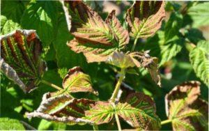 Філлостіктозна плямистість листя малини фото