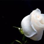ТОП-20 найпопулярніших сортів білих троянд для домашнього вирощування