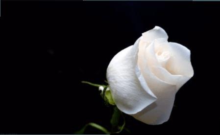Біла троянда фото