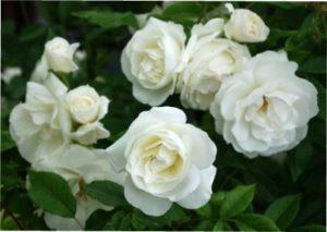 Біла квітка троянда фото