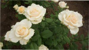 Сорт троянд Білий Дракон фото