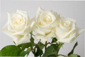 Ескімо вид троянд