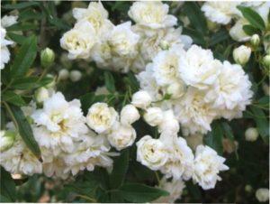 Троянда Вайт Леді опис