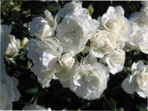 Роза Мідсаммер Сноу