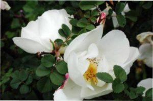 Сорт троянд Невада опис