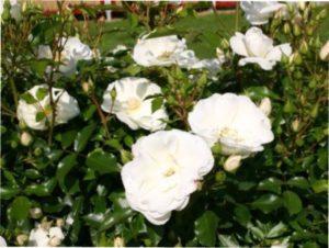 Schneeflocke троянда зображення