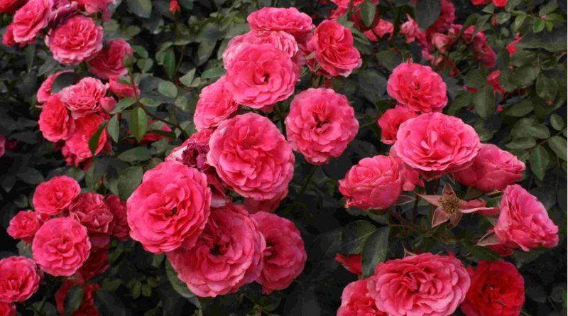 Хвороби садових троянд: опис, способи лікування та профілактика, ліки з фото