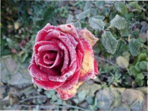 Хвороби садових троянд фото