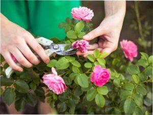 Ліки від чорних пятен на трояндах