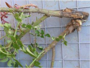 Лікування раку троянд
