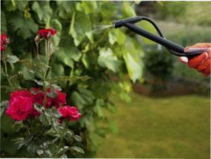 Грибкове захворювання - опік гілок троянд