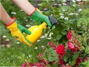 Чим обробляти троянди від хвороб самостійно: ефективні засоби