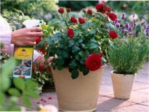Чим обробляти троянди від хвороб: ефективні засоби