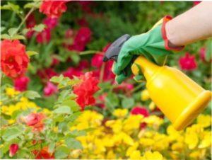 Чим обробити троянди на дачі від хвороб