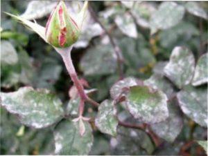 Грибкове захворювання троянд - борошниста роса як лікувати