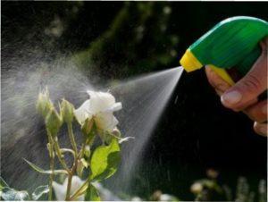 Кращі засоби для боротьби з хворобами троянд
