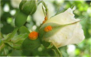 Іржа троянд -лікування