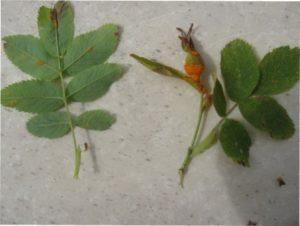 Іржа троянд: фото і лікування при боротьбі з хворобою