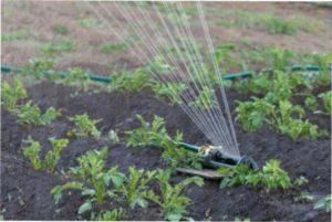 Полив - важливий компонент підживлення картоплі