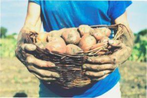 Навіщо підживляти картоплю