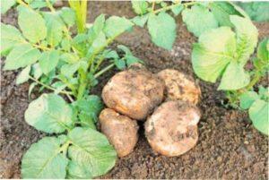Необхідність підживлення картоплі