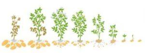 Фази розвитку картоплі