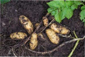 Фази розвитку картоплі на вашому городі