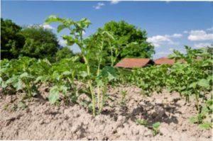 Зовнішні фактори і живлення картоплі