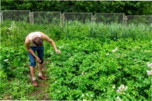 Картопля та її мікроелементи при посадці