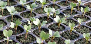 Терміни посіву насіння брокколі