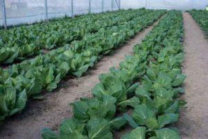 Особливості вирощування капусти брокколі в теплиці