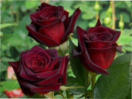 Бордові троянди фото