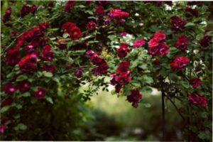 Бордові троянди зображення