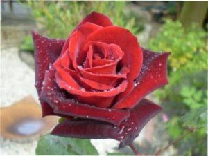 Троянда сорту Barkarole