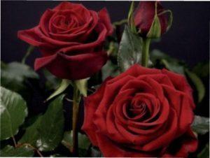 Black Prince троянда