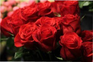 Сорт троянд Freedom