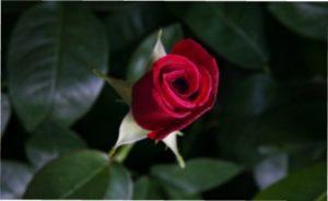 Троянда Екстаз фото