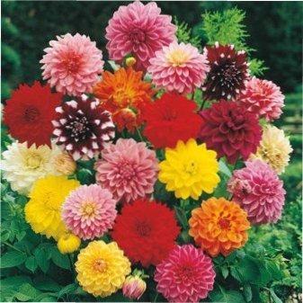 Квіти Жоржини фото