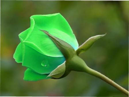 Зелені троянди фото з описом