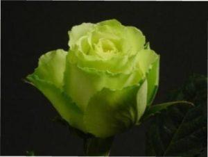 Зеленая роза характеристика