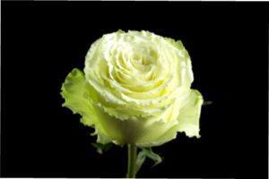 Lemonade опис роз