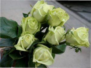 St. Patrick's Day зелена троянда